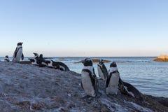 Rebanho do pinguim em rochas imagens de stock