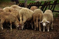 Rebanho do rebanho de sheeps Imagem de Stock Royalty Free