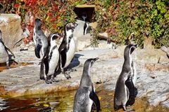 Rebanho do Spheniscus Humboldti dos pinguins imagens de stock royalty free