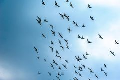 Rebanho do voo dos pombos Imagens de Stock