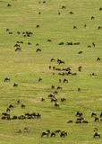 Rebanho do Wildebeest foto de stock royalty free