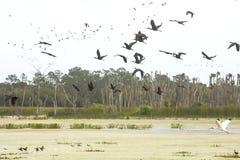 Rebanho dos íbis lustrosos que voam sobre um pântano em Florida fotografia de stock