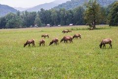 Rebanho dos alces em Great Smoky Mountains Foto de Stock Royalty Free