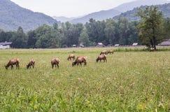 Rebanho dos alces em Great Smoky Mountains Imagens de Stock Royalty Free