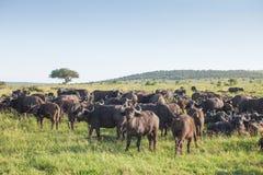 Rebanho dos búfalos Foto de Stock