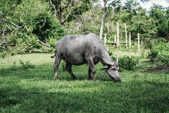 Rebanho dos búfalos-da-índia que pastam na exploração agrícola fotografia de stock