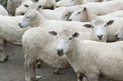 Rebanho dos carneiros Fotos de Stock