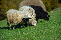 Rebanho dos carneiros Fotografia de Stock Royalty Free