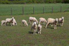 Rebanho dos carneiros Imagens de Stock
