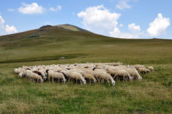 Rebanho dos carneiros fotografia de stock