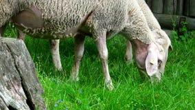 Rebanho dos carneiros ao longo da fuga de caminhada interurbana Neckarsteig filme
