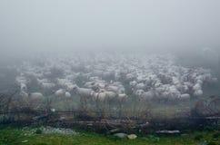 Rebanho dos carneiros cobertos na névoa Fotografia de Stock Royalty Free