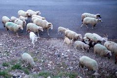 Rebanho dos carneiros e das cabras que cruzam a estrada seca do cascalho Rebanho do mamífero doméstico que anda ao longo do campo imagens de stock royalty free