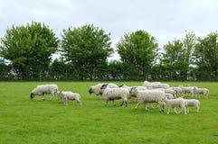 Rebanho dos carneiros e dos cordeiros Imagens de Stock