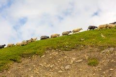 Rebanho dos carneiros em rochas da montanha Imagens de Stock Royalty Free