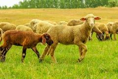 Rebanho dos carneiros em um prado Fotografia de Stock Royalty Free