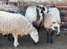 Rebanho dos carneiros fora da cerca para o gado no pasto imagens de stock royalty free