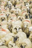 Rebanho dos carneiros na estrada Fotos de Stock Royalty Free