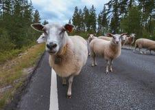 Rebanho dos carneiros na estrada nas montanhas de Escandinávia Fotos de Stock Royalty Free
