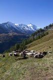 Rebanho dos carneiros na frente da montanha a mais alta de Grossglockner em Áustria 3 798m Imagens de Stock Royalty Free