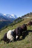 Rebanho dos carneiros na frente da montanha a mais alta de Grossglockner em Áustria 3 798m Fotos de Stock Royalty Free