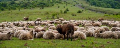 Rebanho dos carneiros na montanha livestock foto de stock