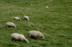 Rebanho dos carneiros na pastagem Imagem de Stock