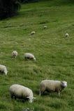 Rebanho dos carneiros na pastagem Imagens de Stock