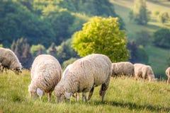 Rebanho dos carneiros nas montanhas de Taunus Fotografia de Stock