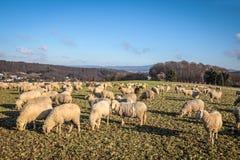 Rebanho dos carneiros nas montanhas de Taunus Imagem de Stock Royalty Free
