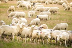 Rebanho dos carneiros nas montanhas de Taunus Imagens de Stock Royalty Free