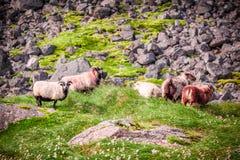 Rebanho dos carneiros nas montanhas, Islândia Imagens de Stock Royalty Free