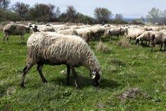 Rebanho dos carneiros no campo Foto de Stock