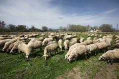 Rebanho dos carneiros no campo Fotografia de Stock