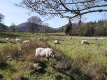 Rebanho dos carneiros no campo Imagens de Stock Royalty Free