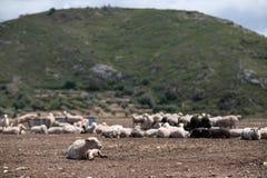 Rebanho dos carneiros no campo fotos de stock
