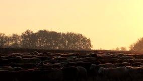 Rebanho dos carneiros no pôr do sol video estoque