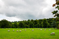 Rebanho dos carneiros no prado bonito da montanha no distrito máximo Nat Fotografia de Stock Royalty Free