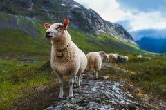 Rebanho dos carneiros no verão Escandinávia Fotografia de Stock Royalty Free