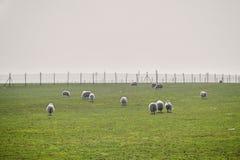 Rebanho dos carneiros nos prados nevoentos verdes Carneiros brancos no pasto com a cerca grande no fundo Foto de Stock Royalty Free