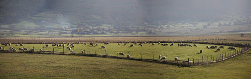 Rebanho dos carneiros, panorama fotografia de stock royalty free