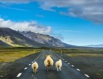 Rebanho dos carneiros que correm na estrada em Islândia imagem de stock