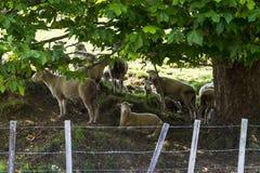 Rebanho dos carneiros que descansam sob uma árvore Imagem de Stock Royalty Free