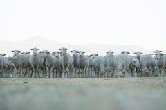 Rebanho dos carneiros que estão ainda Imagem de Stock Royalty Free