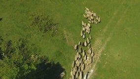 Rebanho dos carneiros que movem-se do prado nas montanhas, criação de animais de gado, lã orgânica vídeos de arquivo