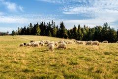 Rebanho dos carneiros que pastam Foto de Stock
