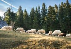 Rebanho dos carneiros que pastam Imagens de Stock
