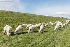 Rebanho dos carneiros que pastam ao longo de um dique holandês Imagem de Stock Royalty Free