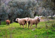 Rebanho dos carneiros que pastam entre oliveiras imagens de stock