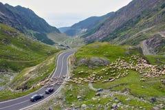 Rebanho dos carneiros que sustentam o tráfego Fotografia de Stock Royalty Free